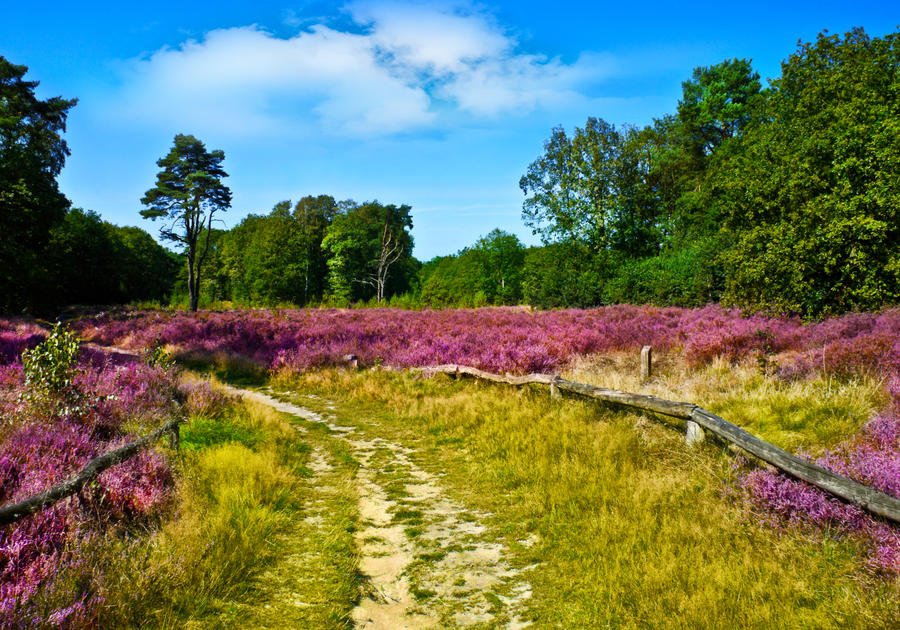 Lüneburger Heide - zur Zeit der Heideblüte